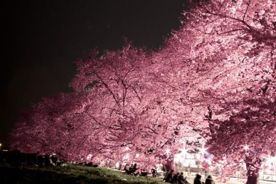 Sakura om natten