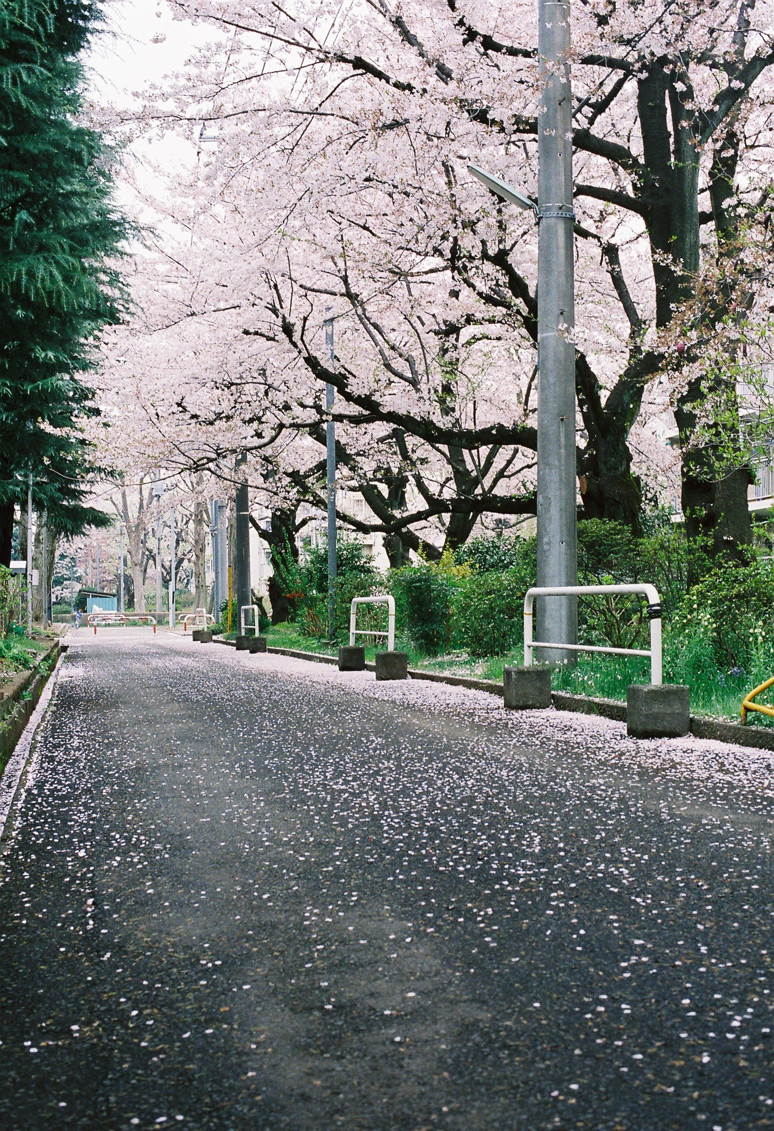 Sakura på vejen